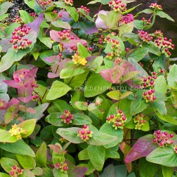 Hypericum in berries fruit red, with yellow flowers, Hypericum androsaemum 'Albany Purple' in berries in July mid-summer