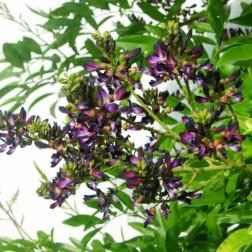 milletia-japonica-681474-1